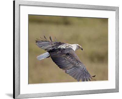 African Fish Eagle (Haliaeetus Vocifer) in Flight, Serengeti National Park, Tanzania, East Africa, -James Hager-Framed Photographic Print