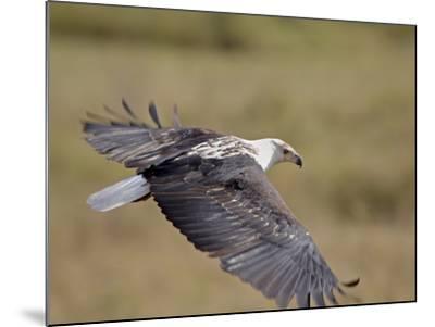 African Fish Eagle (Haliaeetus Vocifer) in Flight, Serengeti National Park, Tanzania, East Africa, -James Hager-Mounted Photographic Print