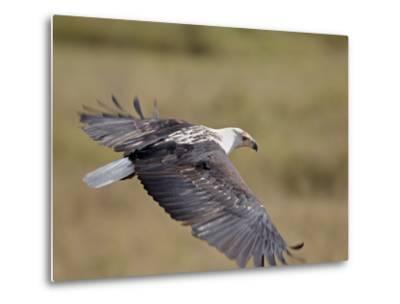 African Fish Eagle (Haliaeetus Vocifer) in Flight, Serengeti National Park, Tanzania, East Africa, -James Hager-Metal Print