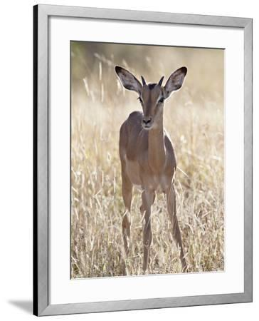 Young Impala (Aepyceros Melampus) Buck, Kruger National Park, South Africa, Africa-James Hager-Framed Photographic Print