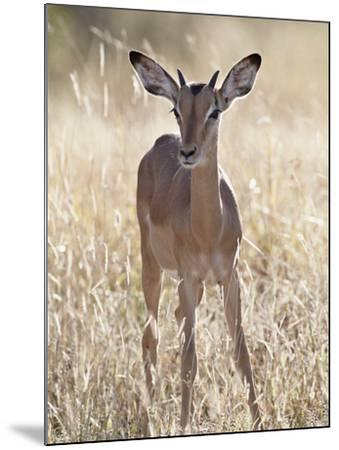 Young Impala (Aepyceros Melampus) Buck, Kruger National Park, South Africa, Africa-James Hager-Mounted Photographic Print