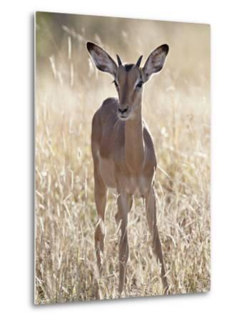 Young Impala (Aepyceros Melampus) Buck, Kruger National Park, South Africa, Africa-James Hager-Metal Print