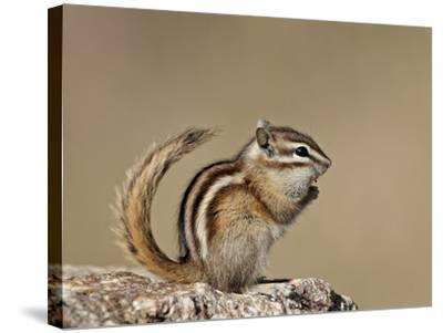 Least Chipmunk (Neotamias Minimus), Custer State Park, South Dakota, United States of America, Nort-James Hager-Stretched Canvas Print