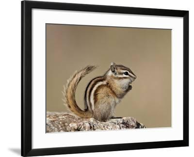 Least Chipmunk (Neotamias Minimus), Custer State Park, South Dakota, United States of America, Nort-James Hager-Framed Photographic Print
