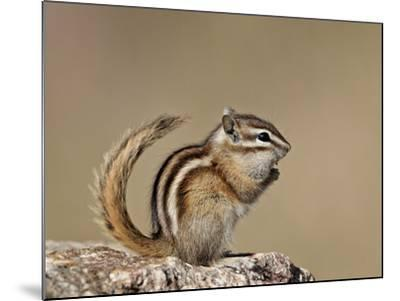 Least Chipmunk (Neotamias Minimus), Custer State Park, South Dakota, United States of America, Nort-James Hager-Mounted Photographic Print