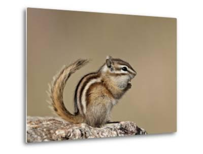 Least Chipmunk (Neotamias Minimus), Custer State Park, South Dakota, United States of America, Nort-James Hager-Metal Print