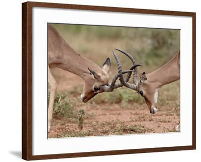 Two Impala (Aepyceros Melampus) Bucks Sparring, Imfolozi Game Reserve, South Africa, Africa-James Hager-Framed Photographic Print