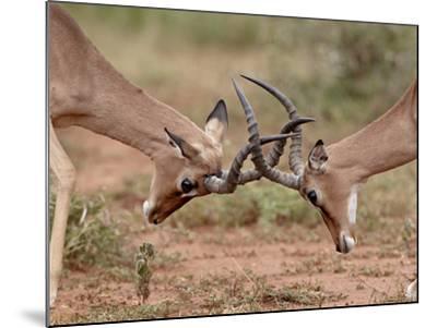 Two Impala (Aepyceros Melampus) Bucks Sparring, Imfolozi Game Reserve, South Africa, Africa-James Hager-Mounted Photographic Print
