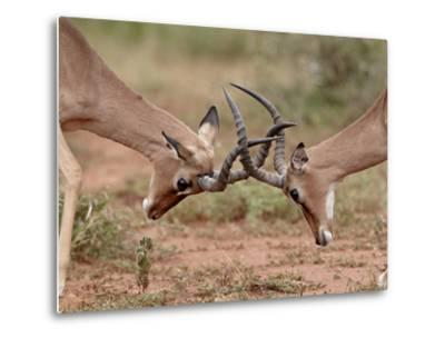 Two Impala (Aepyceros Melampus) Bucks Sparring, Imfolozi Game Reserve, South Africa, Africa-James Hager-Metal Print