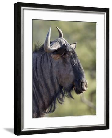 Blue Wildebeest (Brindled Gnu) (Connochaetes Taurinus), Imfolozi Game Reserve, South Africa, Africa-James Hager-Framed Photographic Print