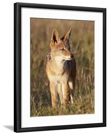 Black-Backed Jackal (Silver-Backed Jackal) (Canis Mesomelas), Mountain Zebra National Park, South A-James Hager-Framed Photographic Print