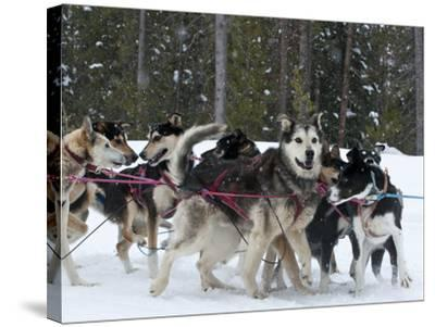 Dog Sledding Team During Snowfall, Continental Divide, Near Dubois, Wyoming, United States of Ameri-Kimberly Walker-Stretched Canvas Print