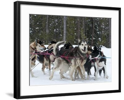 Dog Sledding Team During Snowfall, Continental Divide, Near Dubois, Wyoming, United States of Ameri-Kimberly Walker-Framed Photographic Print