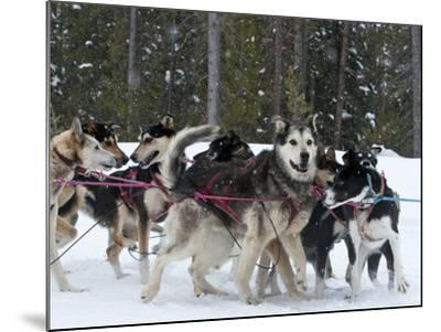 Dog Sledding Team During Snowfall, Continental Divide, Near Dubois, Wyoming, United States of Ameri-Kimberly Walker-Mounted Photographic Print