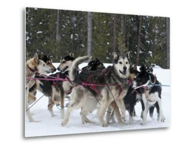 Dog Sledding Team During Snowfall, Continental Divide, Near Dubois, Wyoming, United States of Ameri-Kimberly Walker-Metal Print