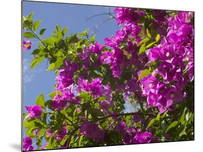 Morning Sun Lights Bougainvillea Flowers Inside Fort Jesus, Mombasa, Kenya-Paul Souders-Mounted Photographic Print