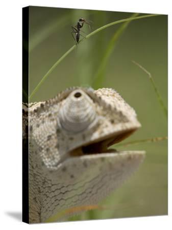 Flap Necked Chameleon Stares Up at Nearby Ant in Tall Grass, Caprivi Strip, Namibia-Paul Souders-Stretched Canvas Print