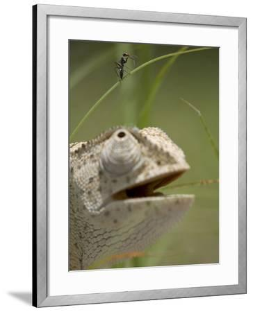 Flap Necked Chameleon Stares Up at Nearby Ant in Tall Grass, Caprivi Strip, Namibia-Paul Souders-Framed Photographic Print