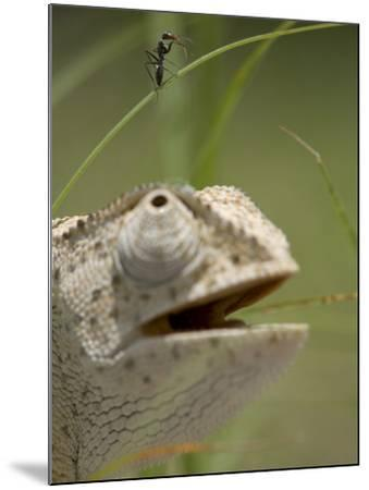 Flap Necked Chameleon Stares Up at Nearby Ant in Tall Grass, Caprivi Strip, Namibia-Paul Souders-Mounted Photographic Print