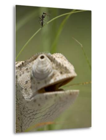 Flap Necked Chameleon Stares Up at Nearby Ant in Tall Grass, Caprivi Strip, Namibia-Paul Souders-Metal Print
