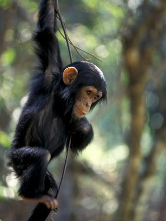 Young Chimpanzee Male, Gombe National Park, Tanzania-Kristin Mosher-Framed Photographic Print