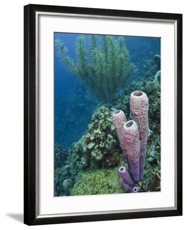 Stove-Pipe Sponge (Aplysina Archeri), Bonaire, Netherlands Antilles, Caribbean-Pete Oxford-Framed Photographic Print