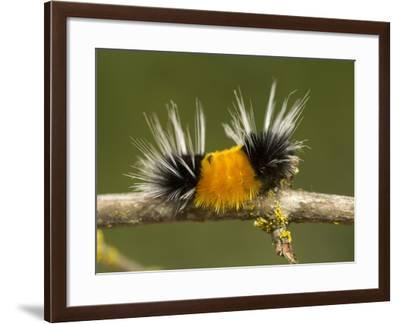 Spotted Tussock Moth Caterpillar, Lophocampa Maculata, British Columbia, Canada-Paul Colangelo-Framed Photographic Print