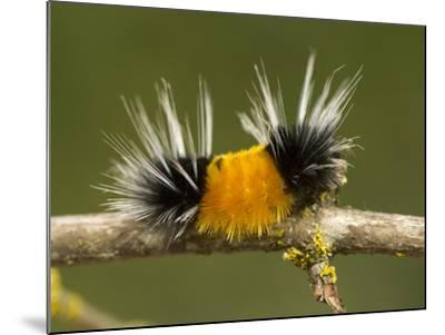 Spotted Tussock Moth Caterpillar, Lophocampa Maculata, British Columbia, Canada-Paul Colangelo-Mounted Photographic Print