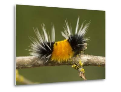 Spotted Tussock Moth Caterpillar, Lophocampa Maculata, British Columbia, Canada-Paul Colangelo-Metal Print