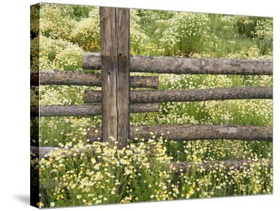Wild Chamomile-Adam Jones-Stretched Canvas Print