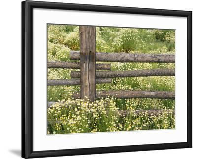 Wild Chamomile-Adam Jones-Framed Photographic Print
