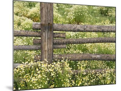 Wild Chamomile-Adam Jones-Mounted Photographic Print