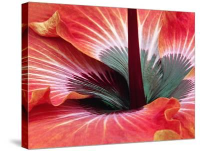 Close-Up of Hibiscus Flower-Adam Jones-Stretched Canvas Print