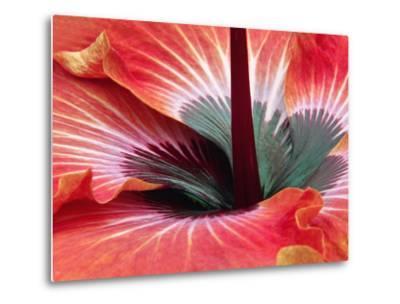 Close-Up of Hibiscus Flower-Adam Jones-Metal Print