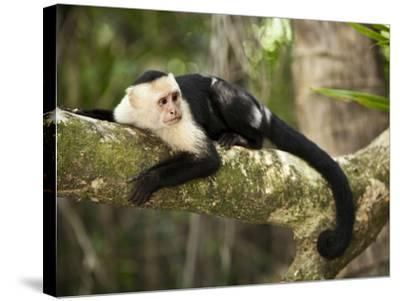 White Faced Capuchin (Cebus Capucinus), Manuel Antonio National Park, Costa Rica-Paul Souders-Stretched Canvas Print