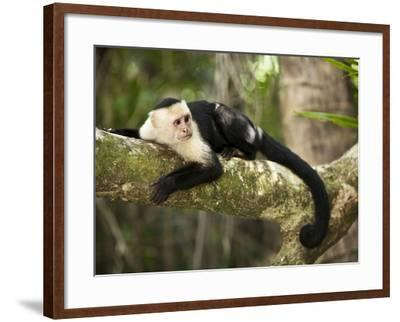 White Faced Capuchin (Cebus Capucinus), Manuel Antonio National Park, Costa Rica-Paul Souders-Framed Photographic Print