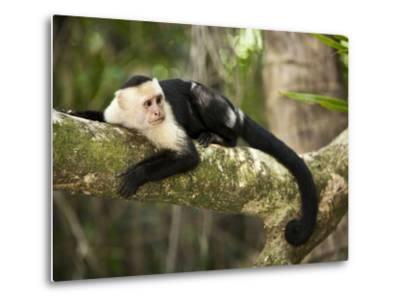White Faced Capuchin (Cebus Capucinus), Manuel Antonio National Park, Costa Rica-Paul Souders-Metal Print