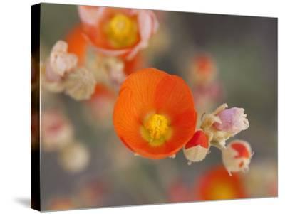 Globemallow or Apricot Mallow, Mojave National Preserve, California, Usa-Jamie & Judy Wild-Stretched Canvas Print