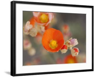 Globemallow or Apricot Mallow, Mojave National Preserve, California, Usa-Jamie & Judy Wild-Framed Photographic Print