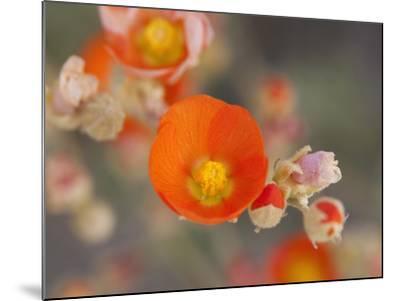 Globemallow or Apricot Mallow, Mojave National Preserve, California, Usa-Jamie & Judy Wild-Mounted Photographic Print