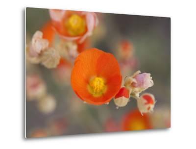 Globemallow or Apricot Mallow, Mojave National Preserve, California, Usa-Jamie & Judy Wild-Metal Print