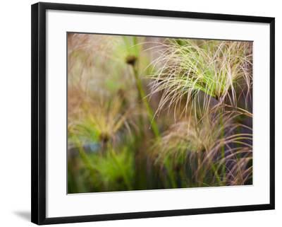 Papyrus Plants, Rosicrucian Egyptian Museum, San Jose, California, Usa-Walter Bibikow-Framed Photographic Print