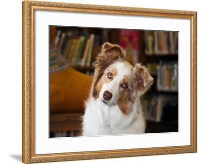 Portrait of an Australian Shepherd in the Library-Zandria Muench Beraldo-Framed Photographic Print