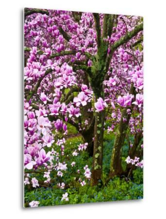 Cherry Blossom Tree in Spring Bloom, Wilmington, Delaware, Usa-Jay O'brien-Metal Print