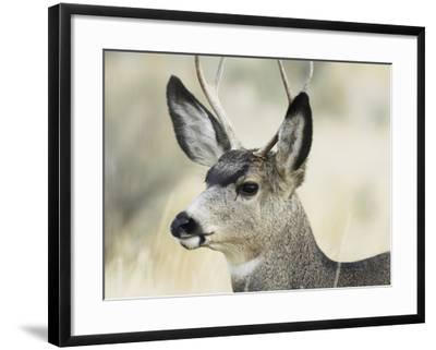 Mule Deer, Buck, Idaho, Usa-Gerry Reynolds-Framed Photographic Print