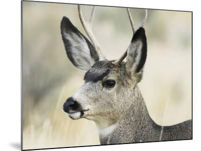 Mule Deer, Buck, Idaho, Usa-Gerry Reynolds-Mounted Photographic Print