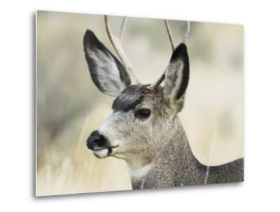 Mule Deer, Buck, Idaho, Usa-Gerry Reynolds-Metal Print