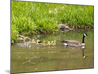 Canada Geese with Goslings at Starved Rock State Park Near Utica, Illinois, Usa-Chuck Haney-Mounted Photographic Print