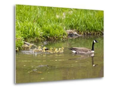 Canada Geese with Goslings at Starved Rock State Park Near Utica, Illinois, Usa-Chuck Haney-Metal Print