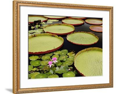 Water Lily and Lily Pad Pond, Longwood Gardens, Pennsylvania, Usa-Adam Jones-Framed Photographic Print